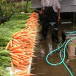 Washing Carrots