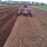 Potato seeding